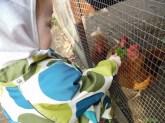 Hønsene fodres
